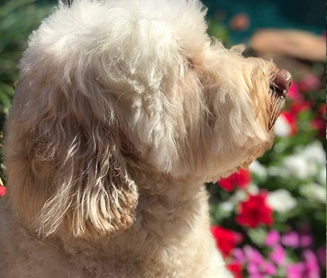 Types Colors Characteristics Of Australian Labradoodles