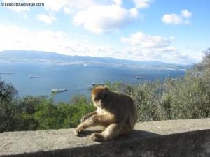Gibraltar - singes