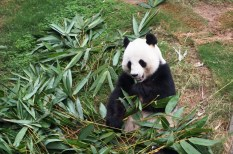 Un panda à Ocean Park