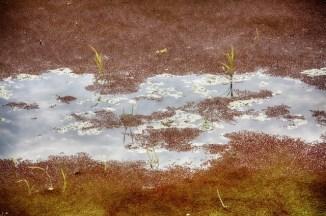 Lentilles d'eau sur les rizières