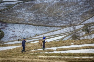 Au travail dans les rizières