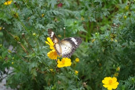 Papillon d'Hoi An
