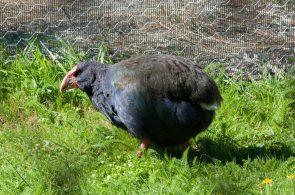 Takahe prehistoric bird