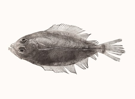 Pleuronectes platessa, from the Creatures of the Seven Seas series