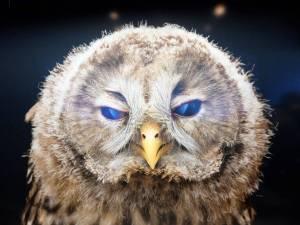 Wisdom of owls