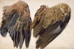 Studie af havørne-vinger. Rørpen og akvarel, 62 x 92 cm