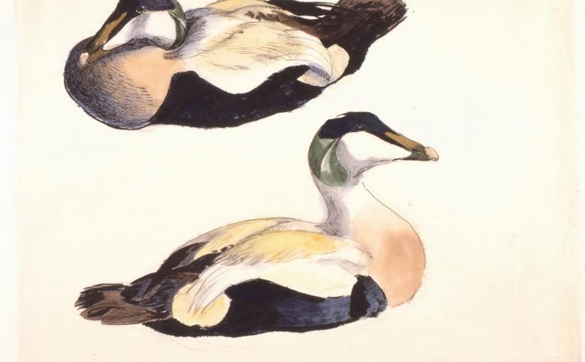 Edderfugle, studie, 60×65 cm