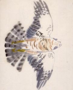 Spurvehøg, han. Akvarel, 49 x 37 cm