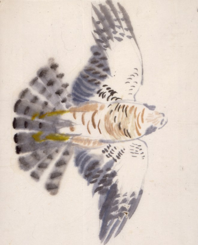 Spurvehøg, han. 49 x 37 cm