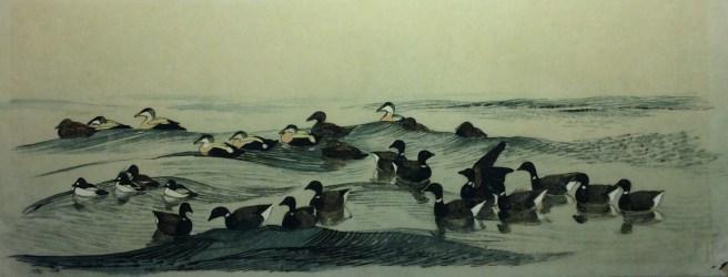 Hvinænder, Ederfugle, Knortegæs. Illustration til Ducks, Geese and Swans by Bertel Bruun, 1964