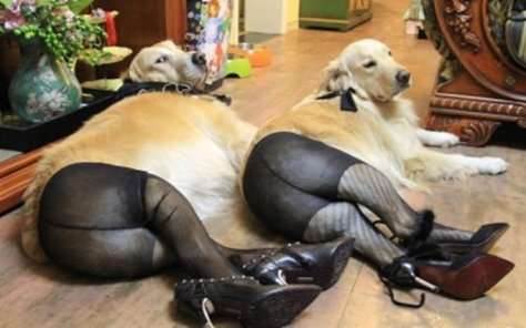 Pantyhose dogs, meme of the week
