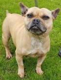 'Macey' 6 year old Female French Bulldog Cross. Originally a stray so her full history/habits are unknown. Macey has a lovely nature but has clearly been a breeding bitch. She is now neutered. She has been allowed to stray regularly in the past so needs a steady home where she will be looked after. Will not be homed to the Wigan area.