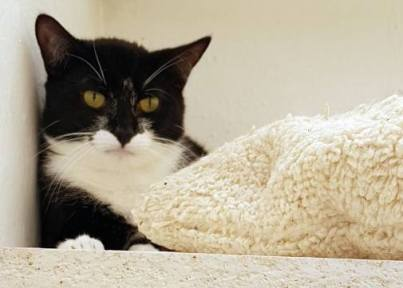 'Tyson' 11 month old castrated male. Tyson came into us as his owner had problems. Used to living with other cats. He is a nervous cat so isn't suitable to live with children.