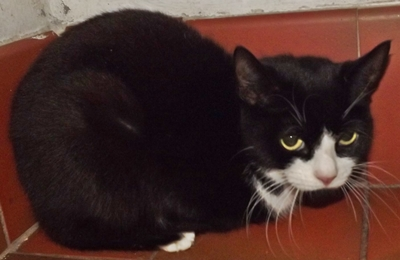 'Shakti' 3 year old Female Black/White DSH. Brought into us as she was not settling in her owners new home, Needs a quiet home.