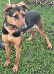 'Roscoe' 18 month old Male Doberman Cross. Roscoe came into us as his owners are both now working full time and no longer have the time for Roscoe. He appears very well trained but will need someone who can handle a big strong dog.