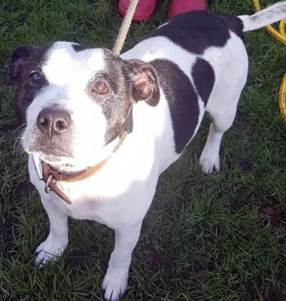 'Roxy' 8 year old female Staffordshire Bull Terrier. Roxy came into kennels as her owner sadly passed away. No family members have been able to take her on so she is now looking for a new family.