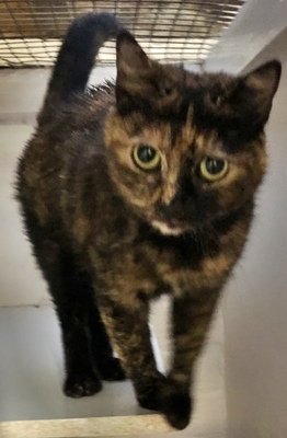 'Smudge' 2 and a half year old Female Torti DSH. Come into us as owner moving away with work and can't take better suited to a home with no children under the age of 13 years.