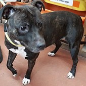 'Summer' Approximately 2 to 4 year old female Staffordshire Bull Terrier. Summer came to us as a stray so her background is unknown.