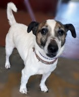 'Jake' 6 year old Jack Russell, castrated male. Jake came to us as a stray so his background is unklnown. He did arrive with a skin condition, which is under treatment but will need some time to completely recover. He seems like a friendly boy.