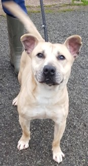 'Howard' 6 year old Staffordshire Bull Terrier cross. Howard is looking for a home as his owner was no longer able to keep him. He is a little nervous so will not be homed with under 14's. He can also be selective over the dogs he gets on with.