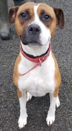 'Lexi' 4 and a half year old Boxer cross. Lexi was a stray so her background is unknown. She is a very boisterous girl and has been friendly with the staff here but doesn't appear to like other dogs.