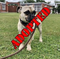 ADOPTED 'Billy' 8 month old Male Puggle. Come into us as owners daughter is allergic to Billy. Quite a shy nervous dog. Will need time & patience to settle into a new home.