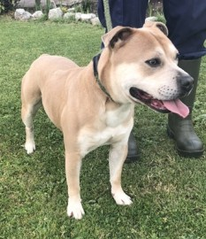 'Drey' 2 year old Male Staffordshire Bull Terrier. Originally a stray history/habits unknown.
