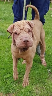 'Nuka' 3 year old Male Sharpei. Nuka was originally a stray so his history and habits are unknown. Nuka is not keen on being over handled at all so will not be rehomed with anyone under 16. Nuka comes out of hsi shell once he knows you and starts to show of his boisterous and playful personality. He is currently under the vet for treatment for a skin and ear condition which will be ongoing.