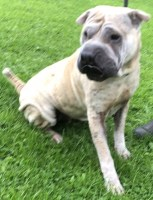 'Bailey' 6 year old Female Sharpei. Bailey was originally a stray so her history/habits unknown. Bailey isn't keen on being over handled but this is common with her breed but due to this she will not be rehomed with children under the age of 14 years. Bailey does loving having a scratch and a little cuddle. She knows some commands like sit and give paw.