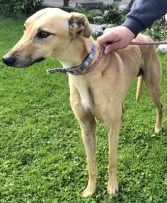 'Bandit' 5 and a half year old Male Greyhound/Lurcher Type. Originally a stray history/habits unknown. Bandit seems to be a laid back boy who loves human attention. He isn't keen on smaller animals so cannot be rehomed around any.