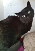 'Greg' 5 year old Male Black DSH. Come into us as owner can no longer look after.