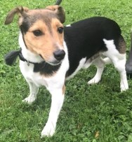 'Jack' 6 and a half year old Male Jack Russell. Jack came back to us as became snappy and protective over his owner and with him having grand children he couldn't trust Jack. Jack will be better suited in a quiet home with minimal people about where he can get the training he needs.
