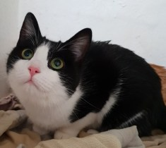 'Molly' 1 year old, black and white female DSH. Molly has been bought in for a new home as her owner is moving house and is unable to take her.