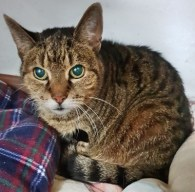 'Sophie' Roughly 10-12 year old Female Tabby DSH. Sophie came into us as her owner sadly passed away. Sophie is an older girl but loves attention, she is looking for a quiet retirement home.