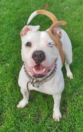 'Ronnie' 2 year old Female American Bulldog. Ronnie came into us as her owner can no longer look after her. She will not be rehomed with under 16's as she is quite nervous, particularly with new people. She has had some training and responds to basic commands.