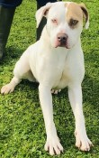 'Roxy' 10 month old Female American Bulldog Type. Originally a stray history/habits unknown. Lovely friendly dog, only a young very active wil be a big dog not yet fully grown.