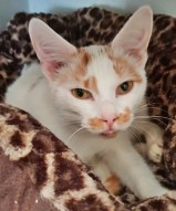 'Siso' 18 month old Male Ginger & White DSH. Come into us due to child being allergic to Siso.