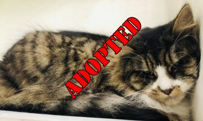 ADOPTED 'Tom' 7 year old male Tabby & White DLH. Tom came into us as his owner has sadly passed away, Tom is a very nervous & shy cat who would suit a nice quiet home. It will likely take a while for him to settle into a new environment because of his nature but should make a nice pet for the right person.