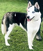 'Skylar' 12 month old Female Husky Type. Originally a stray history/habits unknown. Not keen on being over handled, and will need some training whilst on a lead, can be very stubborn whilst out a lead.