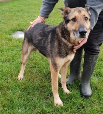 'Blade' 4 to 5 year old German Shepherd Cross. Blade came to us as a stray with no background so his history is unknown. He does get quite nervous and stressed when in enclosed spaces so we feel he would not be suited as a house pet but would be much happier as a farm dog or similar. He can't be homed with children.