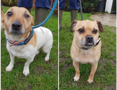 'Bella' & ' Gizmo' are to be homed together. Bella is a 5 year old female Jack Russell type and Gizmo is 6 and a half year old male Pug cross. Both are neutered and fully vaccinated. They are looking for a new home due their owners ill health. Bella is a little shy and has an ongoing eye problem. Gizmo is much more outgoing. Gizmo can be protective over Bella so they can't be homed with under 16's as a precaution.