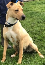 'Zafari' Approximately 1 year old medium sized crossbreed. Zafari came to us as a stray so her background is unfortunately unknown. She is a bouncy young girl but good natured with everyone here so there are no specific restrictions with rehoming her.