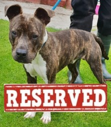 'Pero' 10 month old male Staffordshire Bull Terrier Cross. Originally a stray history/habits unknown. Being castrated here 22/7/19 before going to his new home 23/7/19