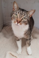 'Sox' 6 year old male Tabby/White DSH. Sox came into us as his owner had too many cats. He is not very well socialised with other cats and would be better rehomed as the only pet.