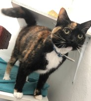'Macavity' 6 year old Female Tortoiseshell DSH. Maccy is looking for a new home as her owner was moving home and wasn't able to take her. She is not used to children so we are looking for a child free home for her. She comes to greet you and is usually quite friendly but a couple of the people who have met her have had a nibble off her!