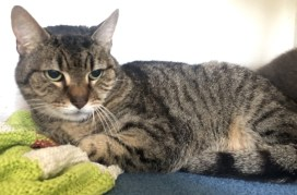 'Thomas' 9 year old Male Tabby DSH. Thomas came into us as his owner sadly passed away. He has lived with another cat so should fit in if there are other cats at home. He has a small cyst on his side which may return periodically but shouldn't be a major concern.