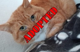 'Ninja' approximately 4 year old male. Ninja was taken into a vets after it was suspected he was attacked by a dog but nobody ever came to take him home. He has since recovered and is ready for a new home.