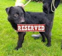 We are no longer taking applications for 'Bruno' 2 year old Male Patterdale terrier. Bruno came to us as a stray so his background is unfortunately not known. He will be castrated prior to going to his new home. He may need house training and would benefit from some behaviour training. He does not get on with other animals, which is fairly typical of this breed if not addressed early on, so this will need to be considered when it comes to going for walks, meeting friends with dogs, etc. He is looking for a home without very young children and where there are no other pets.