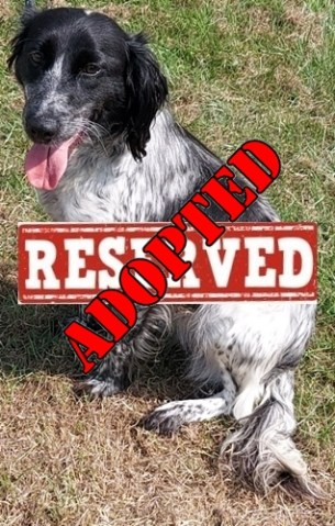 NOT CURRENTLY ACCEPTING FURTHER APPLICATIONS 'Leah' Approximately 2 year old Female Spaniel type. Leah came to us as a stray so her background is unknown. She may not be house trained but she is pleasant natured and young enough to learn.