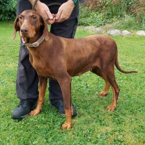 'Doreen' Approximately 7 year old Female (now neutered) Doberman. Doreen was a stray so her background is unfortunately not known. Her coat was very dry on arrival but it's condition has improved a lot in the time she's been with us and hopefully will continue. She has a little tartar on her teeth but otherwise seems fit and well and is good natured.